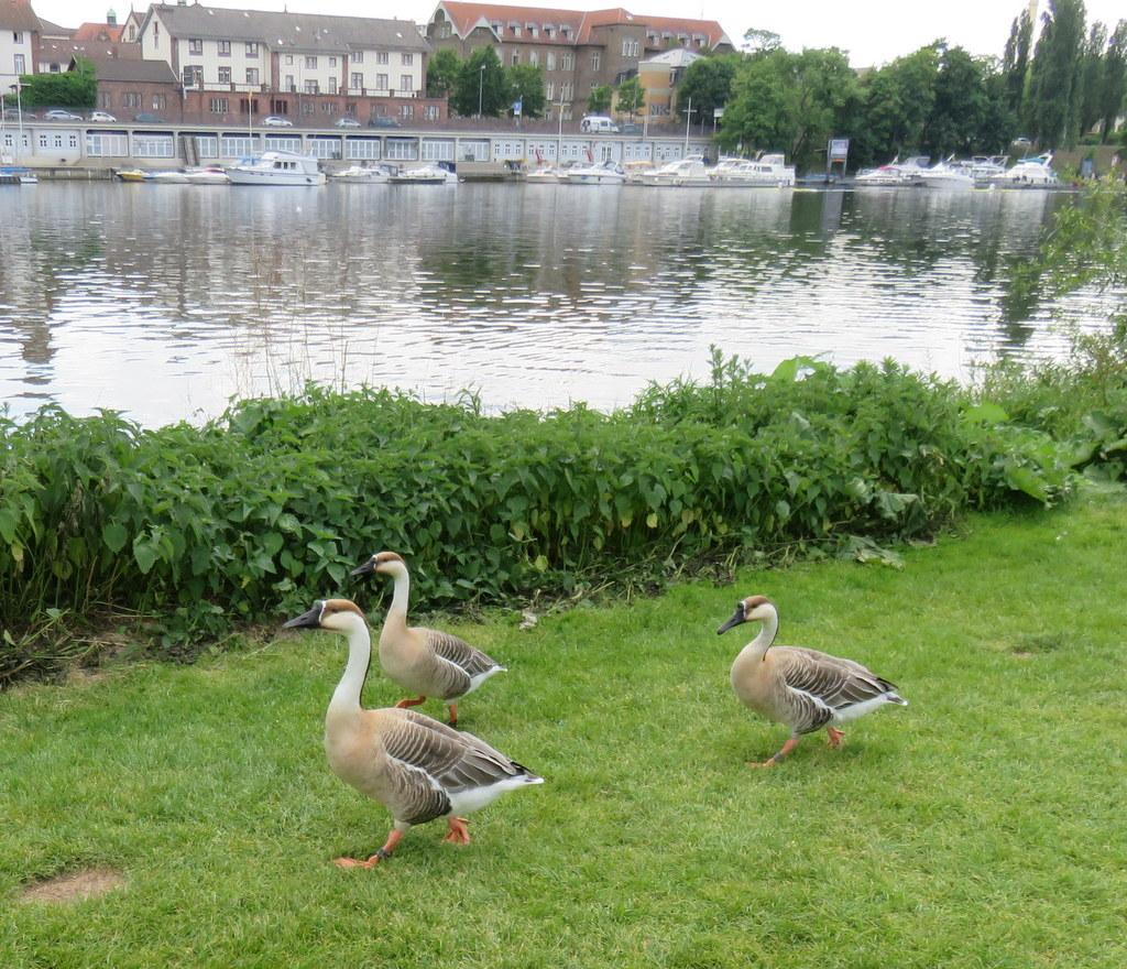 Enten auf der Neckarwiese